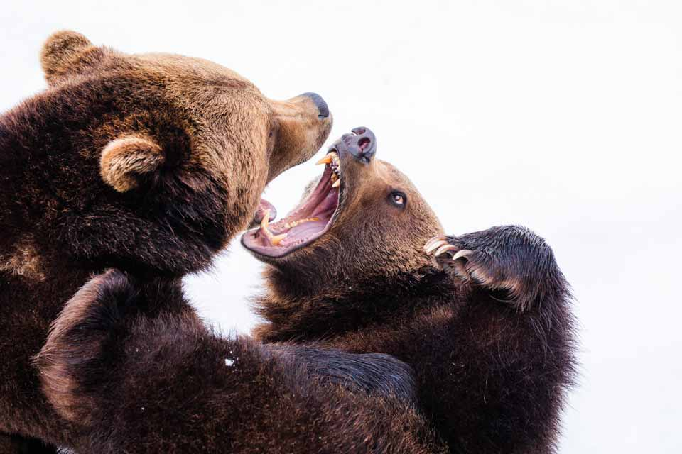 2 grizzly bears wrestling